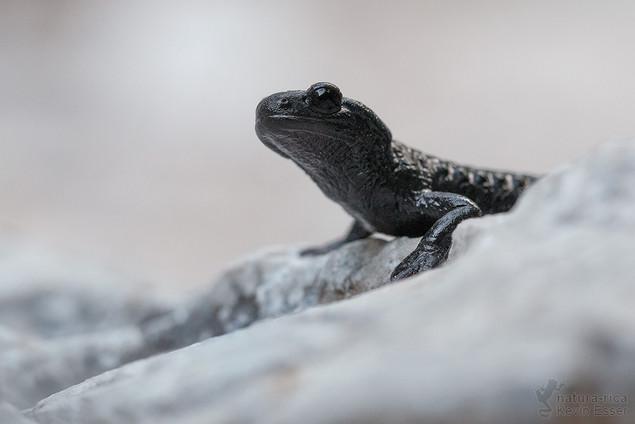 Salamandra atra - Alpine Salamander
