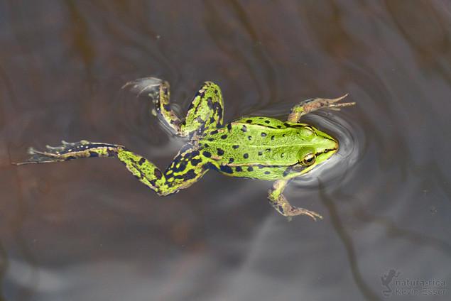 Pelophylax lessonae - Pool Frog