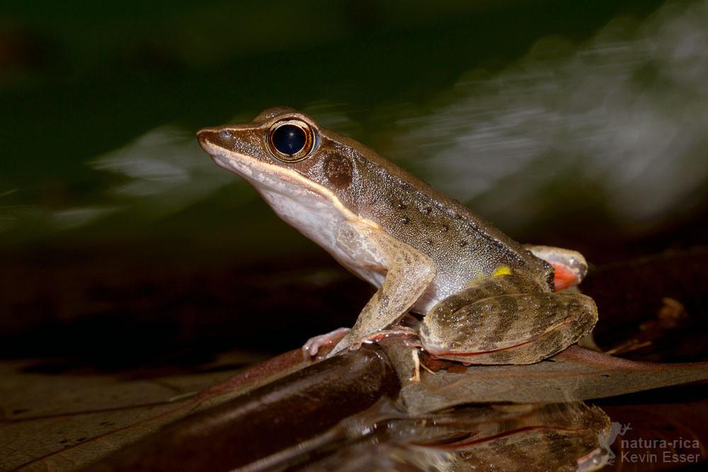 Lithobates warszewitschii - Warszewitsch-Frosch