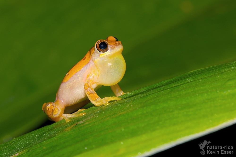 Dendropsophus ebraccatus - Hourglass Treefrog