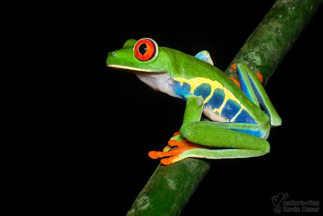 Agalychnis callidryas - Red-eyed Tree Frog