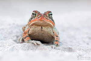 Anaxyrus terrestris - Southern Toad