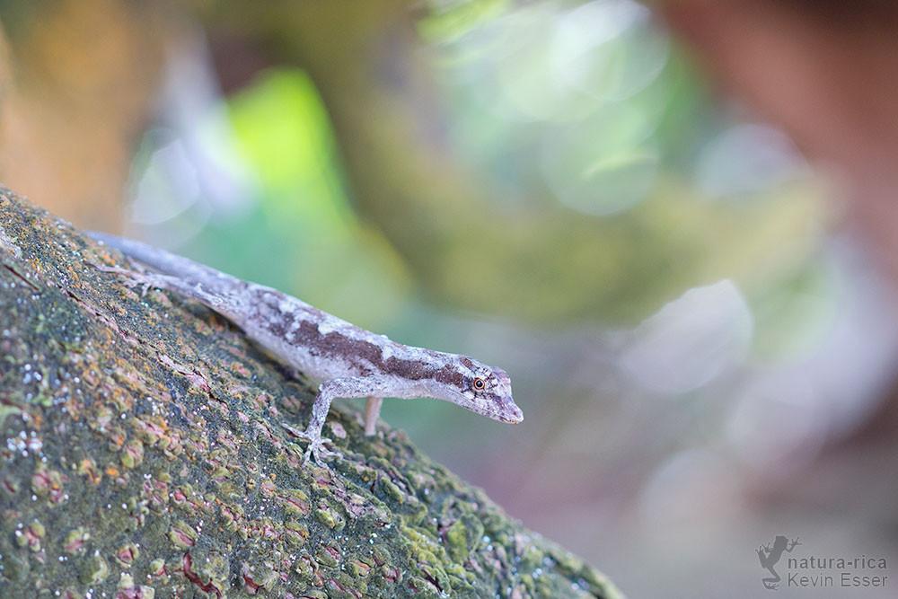 Anolis lemurinus - Ghost Anole