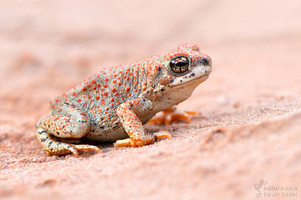 Anaxyrus punctatus - Red-spotted Toad