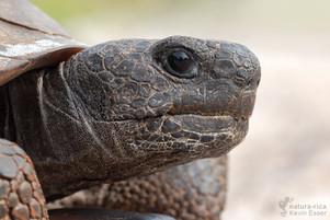 Gopherus polyphemus - Gopher Tortoise