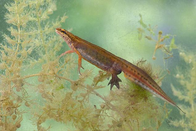 Lissotriton helveticus - Palmate Newt