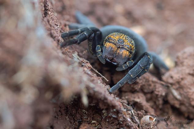 Eresus kollari - Ladybird Spider