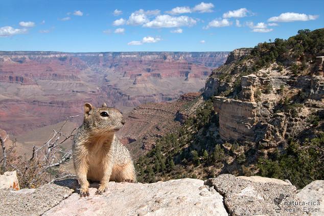 Otospermophilus variegatus - Rock Squirrel