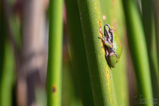 Pseudacris sierra -  Sierran Treefrog