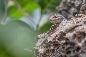 Sceloporus occidentalis longipes - Great Basin Fence Lizard