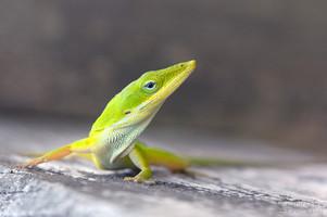 Anolis carolinensis - Green Anole