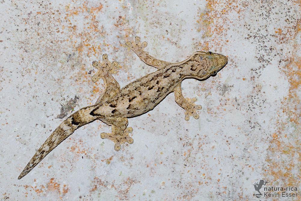 Thecadactylus rapicauda - Turnip-tail Gecko