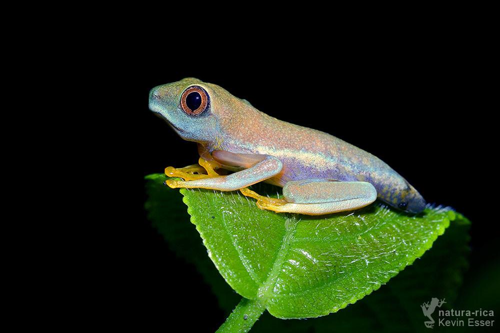 Agalychnis callidryas - Rotaugenlaubfrosch