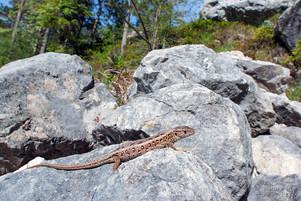 Lacerta agilis - Sand Lizard, female