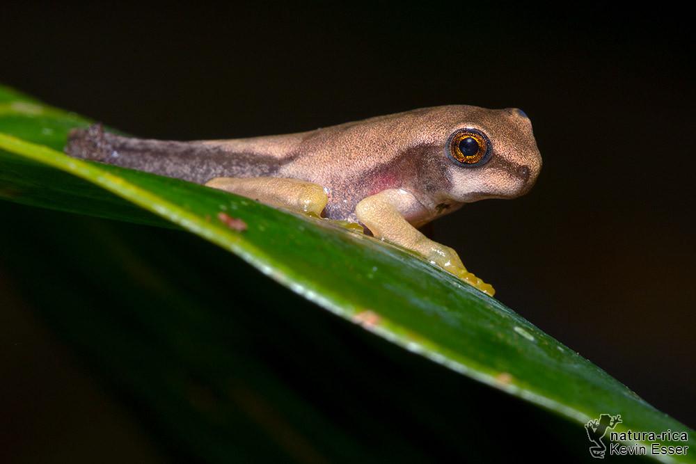 Smilisca phaeota - Costa-Rica-Laubfrosch