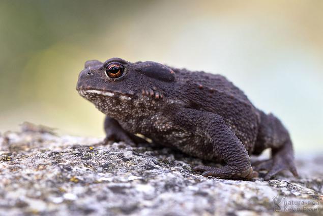Bufo bufo - Erdkröte