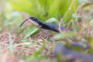 Coluber constrictor priapus - Southern Black Racer