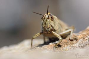 Anacridium aegyptium - Egyptian Grasshopper