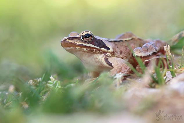Rana dalmatina - Springfrosch