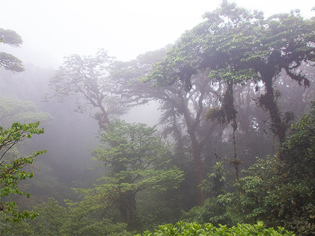 King of the Cloud Forest