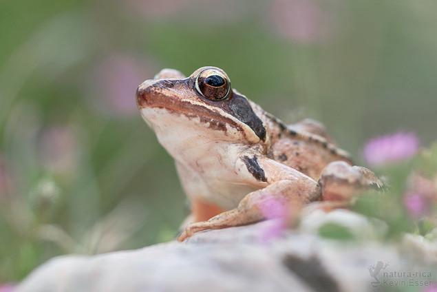 Rana dalmatina - Agile Frog