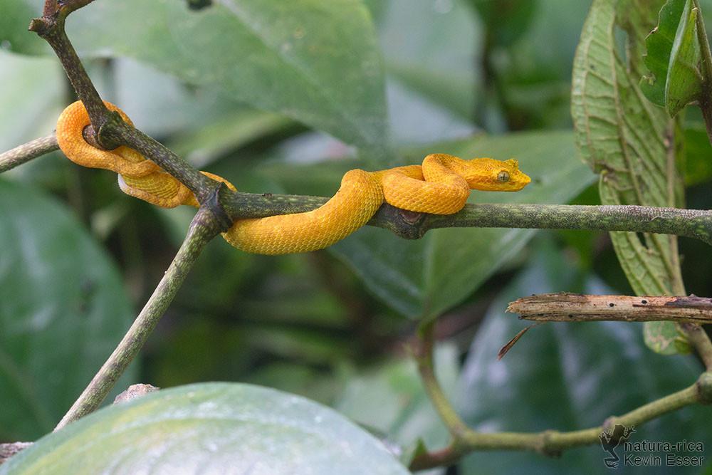 Bothriechis schlegelii - Eyelash Viper