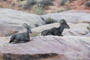 Ovis canadensis nelsoni - Desert Bighorn Sheep