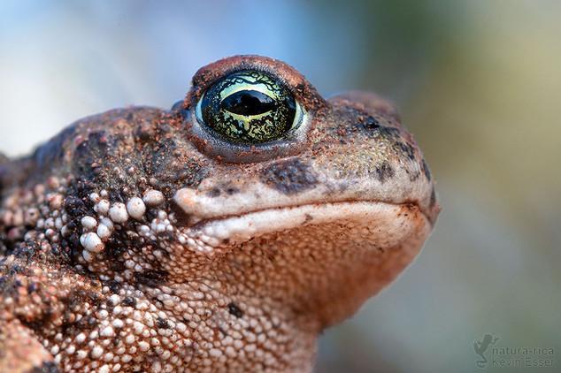 Epidalea calamita - Natterjack Toad