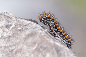 Melitaea didyma - Spotted Fritillary, Caterpillar