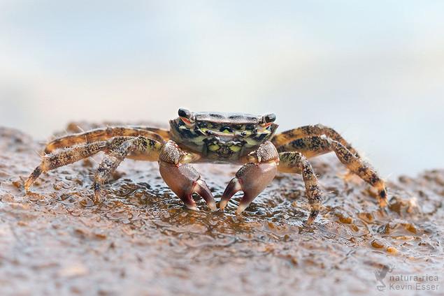 Pachygrapsus marmoratus - Marbled Rock Crab