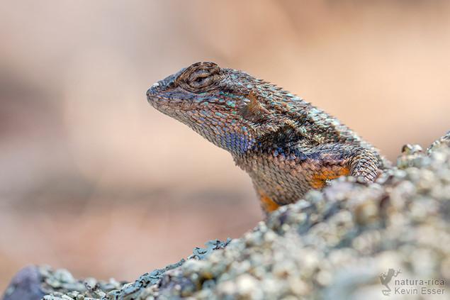 Sceloporus occidentalis bocourtii - Coast Range Fence Lizards