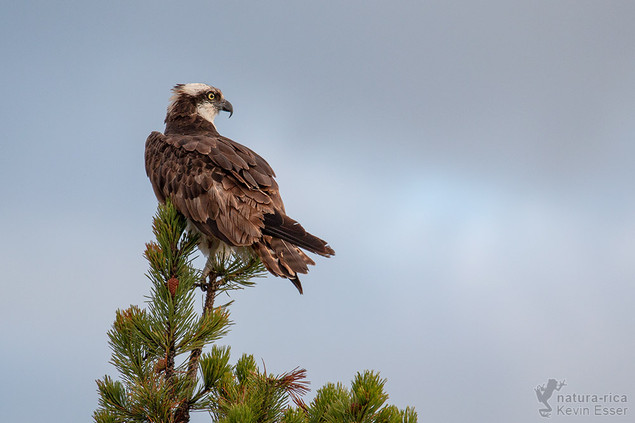 Pandion haliaetus - Osprey
