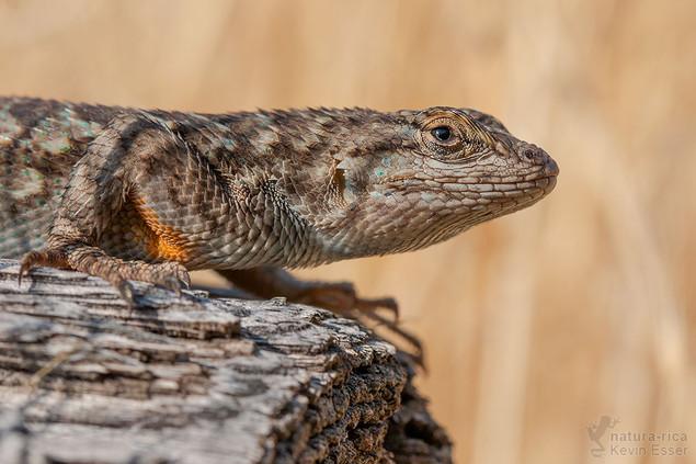 Sceloporus occidentalis longipes - Great Basin Stachelleguan