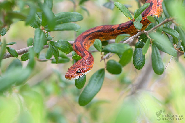 Pantherophis guttatus - Corn Snake