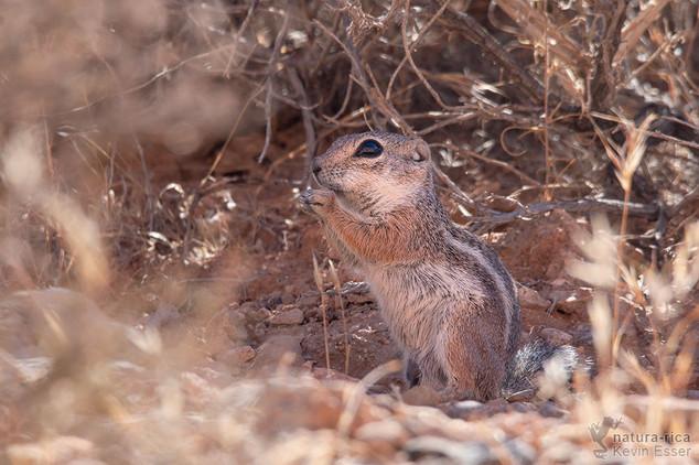 Ammospermophilus leucurus - White-tailed Antelope Squirrel