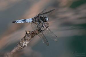 Orthetrum cancellatum - Black-tailed Skimmer