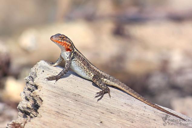 Sceloporus variabilis - Rosebelly Lizard
