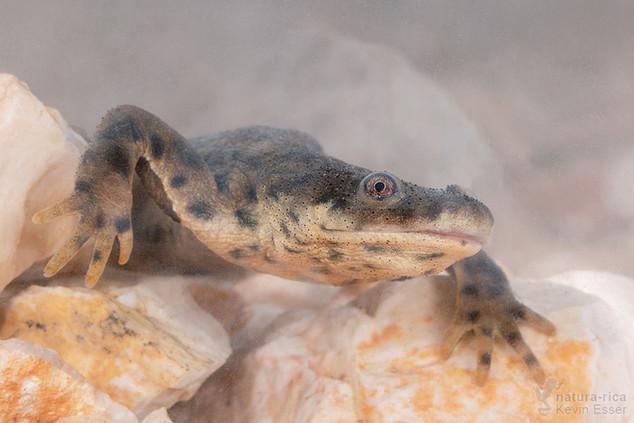 Pleurodeles waltl - Sharp-ribbed Newt