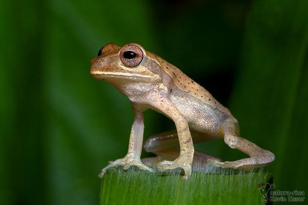 Smilisca puma - Tawny Treefrog