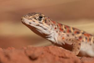 Gambelia wislizenii - Long-nosed Leopard Lizard