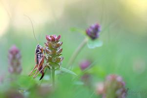 Metrioptera roeselii - Roesels Beißschrecke
