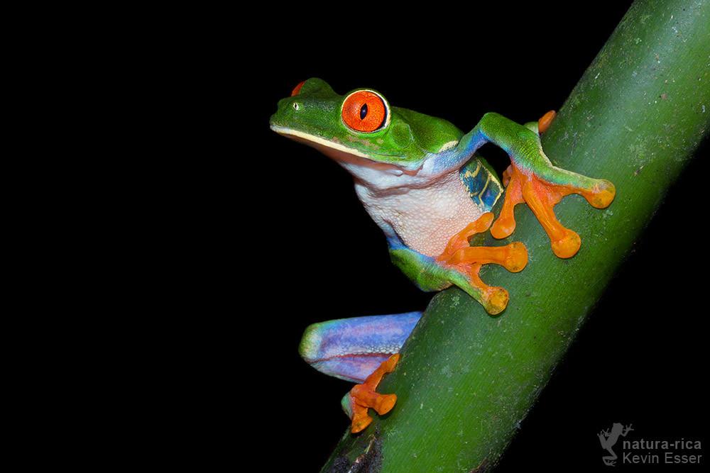 Agalychnis callidryas - Red-eyed Treefrog