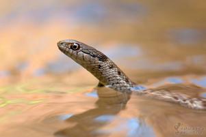 Thamnophis elegans vagrans - Wandering Garter Snake