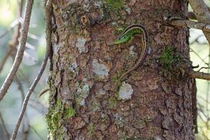 Lacerta agilis - Sand Lizard, male