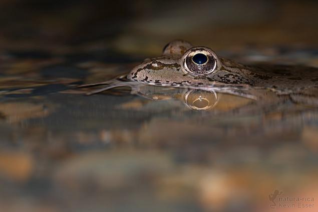 Pelophylax perezi - Iberian Waterfrog