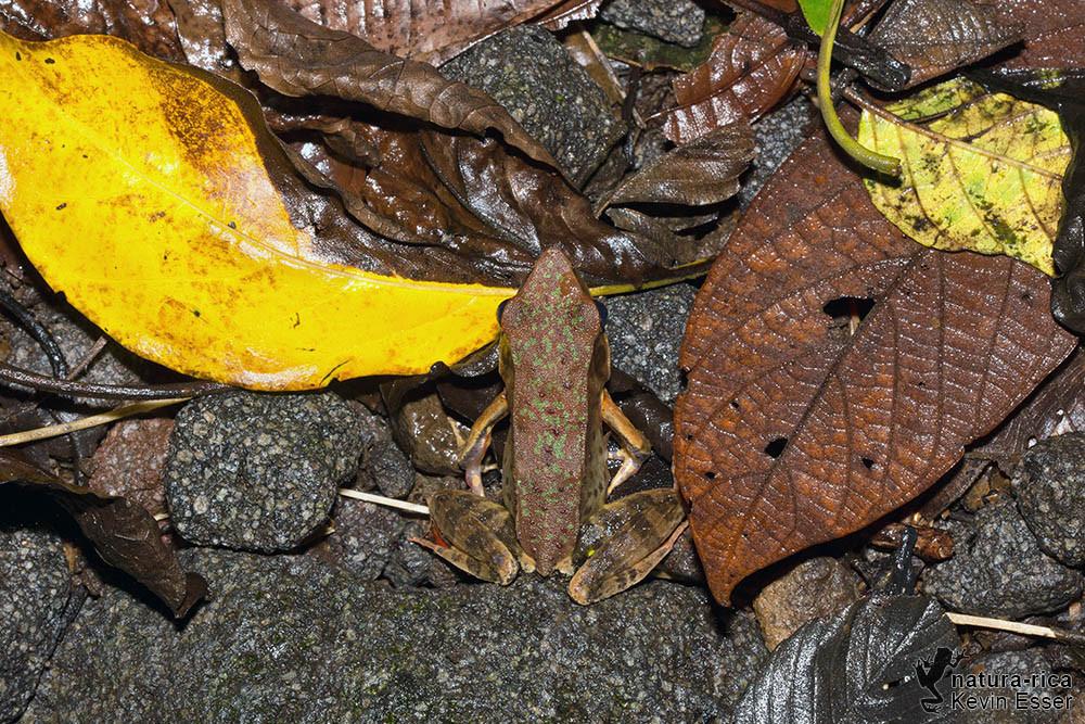 Lithobates warszewitschii - Warszewitsch's Frog