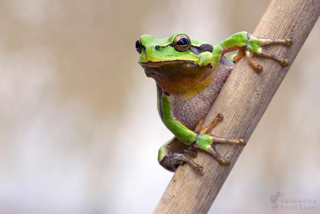 Hyla arborea - European Tree Frog