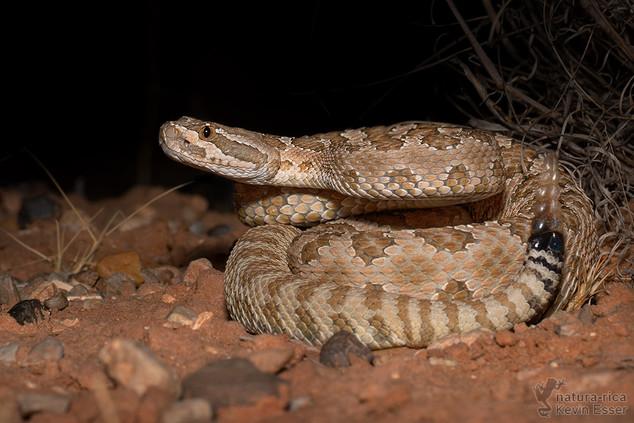 Crotalus oreganus - Pacific Rattlesnake