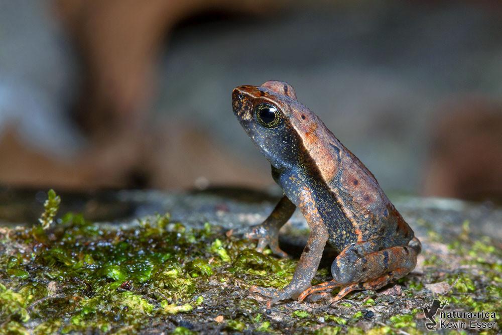 Rhaebo haematiticus - Laubkröte