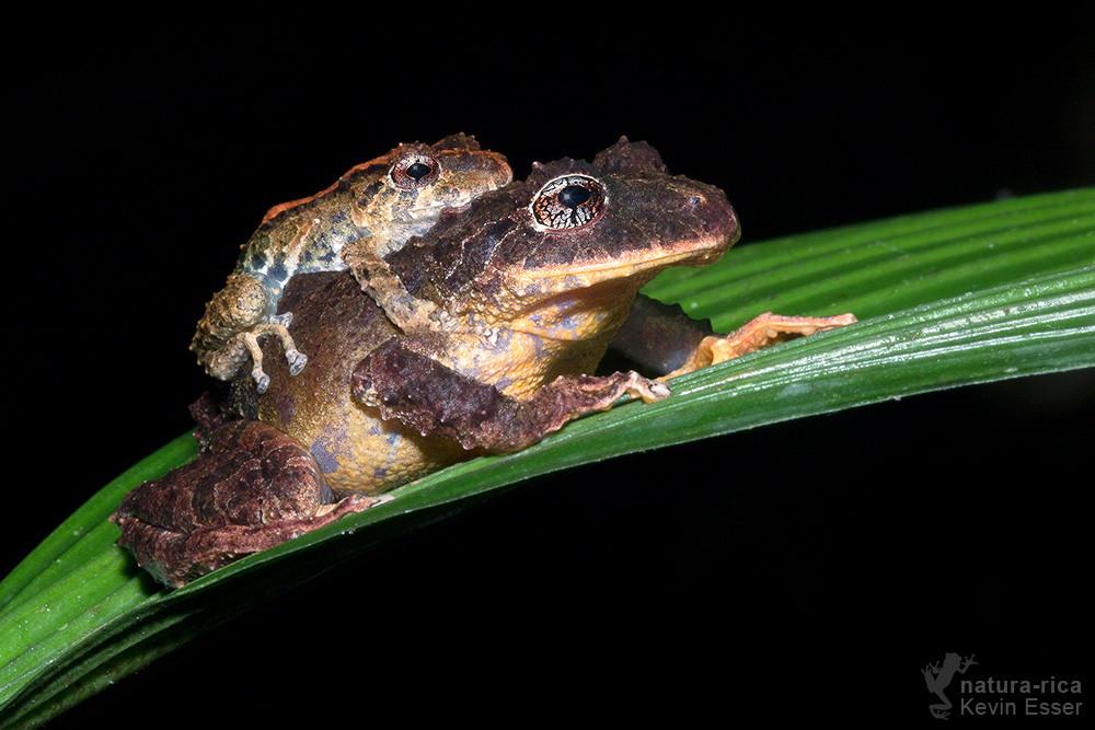 Pristimantis cruentus - Chiriqui Robber Frogs